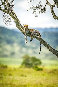 Leopard (Panthera pardus) lies on diagonal branch watching camera, Klein's Camp, Serengeti National Park; Tanzania