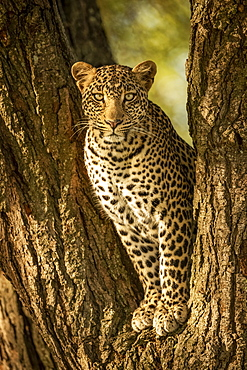 A leopard (Panthera pardus) sits in the forked trunk of a tree. It has a brown, spotted coat and is looking straight at the camera, Serengeti National Park; Tanzania