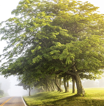Early morning fog road with trees