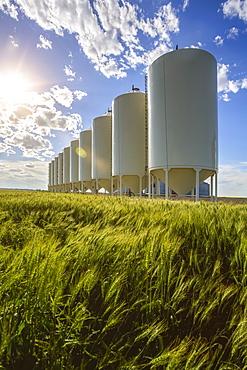 White grain bins in a row along a ripening wheat field; Alberta, Canada