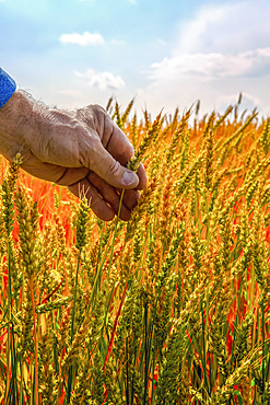A farmer reaching out to touch the grain heads of a ripening crop; Alberta, Canada