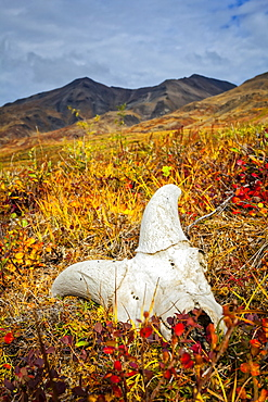 Dall Sheep's skull on fall coloured tundra, Brooks Mountains in the background. Gates of the Arctic National Park and Preserve, Arctic Alaska in autumn; Alaska, United States of America