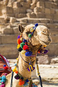Decorated camel and Giza Pyramid Complex, UNESCO World Heritage Site; Giza, Egypt