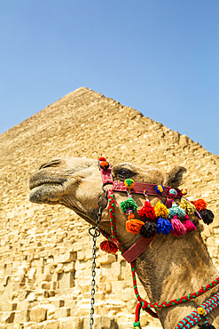 Decorated camel and Pyramid of Cheops (Khufu), Giza Pyramid Complex, UNESCO World Heritage Site; Giza, Egypt