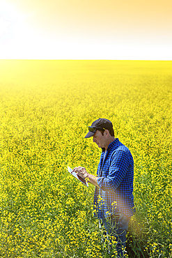 Farmer standing in a canola field using a tablet and inspecting the yield at sunrise; Alberta, Canada