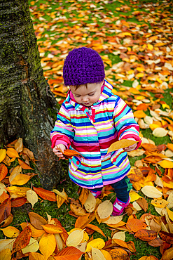 A toddler girl standing outside in leaf litter on the ground, holding and looking at an autumn coloured leaf; Surrey, British Columbia, Canada
