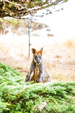 Portrait of a Wallaby sitting on grass under a tree; Phillip Island, Victoria, Australia
