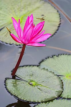 Dragonfly resting on blossoming fuchsia lotus (Nelumbo) plant, Nong Han Lake; Thailand