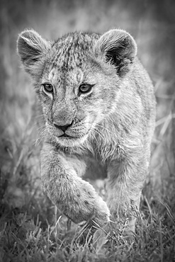 A lion cub (Panthera leo) walks through long grass towards the camera. It is lifting its right paw and staring intently, Serengeti National Park; Mara Region, Tanzania