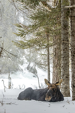 A bull moose (Alces americanus) is resting in the snow, Gaspesie National Park; Quebec, Canada