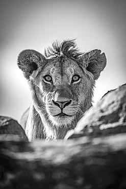 A young male lion (Panthera leo) pokes his head above a rocky ledge under a blue sky. He has a short mane and is staring straight at the camera. Shot with a Nikon D850 in Serengeti National Park; Tanzania