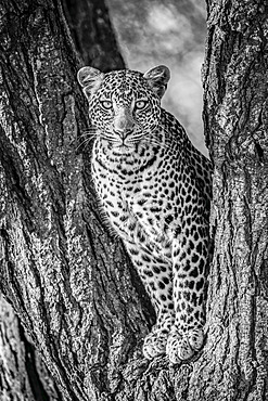 A leopard (Panthera pardus) sits in the forked trunk of a tree. It has a brown, spotted coat and is looking straight at the camera. Shot with a Nikon D850 in Serengeti National Park; Tanzania