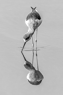 An immature black-winged stilt (Himantopus himantopus) with its beak in the water walks through the shallows of a perfectly calm lake, matched by its own reflection. Shot with a Nikon D800 at Ranthambore National Park in India; Rajasthan, India