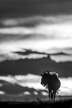 A blue wildebeest (Connochaetes taurinus) on the horizon is silhouetted against a yellow and black sky at sunset. Its horns are visible in outline, and it's standing with its head turned. Shot with a Nikon D850 in the Serengeti; Tanzania