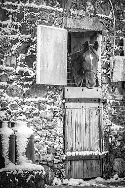 Black and white image of a horse (Equus Caballus) looking out of an old snow-covered stone stable building in winter; Rathcormac, County Cork, Ireland
