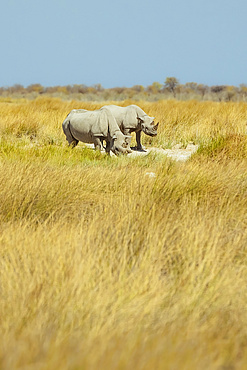 Black Rhinoceros (Diceros bicornis), Etosha National Park; Namibia