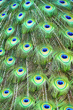 Detail of the eyespots on the plumage train of a peacock ; Colorado, United States of America