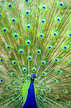 Indian peafowl (Pavo cristatus) proudly displaying the feathers of it's train; Fort Collins, Colorado, United States of America