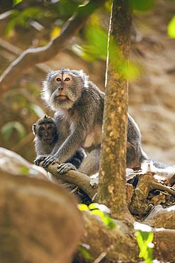 Balinese long-tailed Monkeys (Macaca fascicularis), Ubud Monkey Forest; Bali, Indonesia