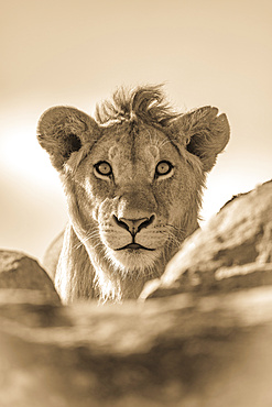 A young male lion (Panthera leo) pokes his head above a rocky ledge. He has a short mane and is staring straight at the camera, Serengeti National Park; Tanzania