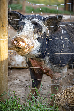 Pig on a farm peering through a wire fence at the camera; Armstrong, British Columbia, Canada