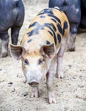 Pig on a farm looking at the camera; Armstrong, British Columbia, Canada