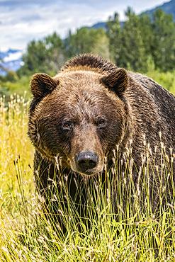Female Brown bear (Ursus arctic), captive animal, Alaska Wildlife Conservation Center; Portage, Alaska, United States of America