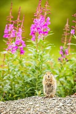 An Arctic Ground Squirrel (Urocitellus parryii) looks at camera while feeding in late summer. Fireweed (Chamaenerion angustifolium) is in bloom in the Hatcher Pass area near Palmer, South-Central Alaska; Alaska, United States of America