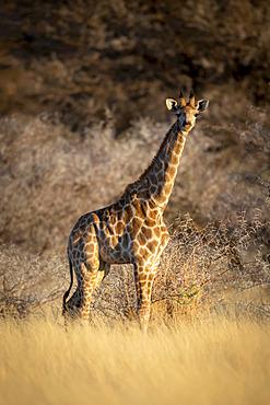 Young southern giraffe (Giraffa camelopardalis angolensis) stands staring in grass; Otavi, Otjozondjupa, Namibia