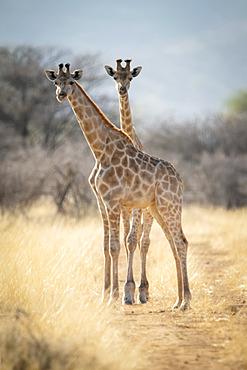 Two southern giraffes (Giraffa camelopardalis angolensis) stand on dirt track; Otavi, Otjozondjupa, Namibia