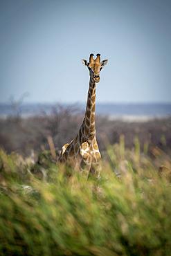 Southern giraffe (Giraffa camelopardalis angolensis) stands behind bushes near trees, Etosha National Park; Otavi, Oshikoto, Namibia