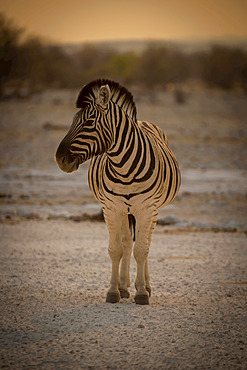 Plains zebra (Equus burchellii) stands on salt pan turning head, Etosha National Park; Otavi, Oshikoto, Namibia
