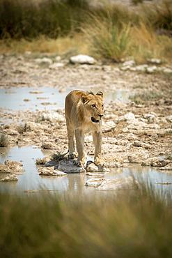 Lion (Panthera leo) stands looking ahead on stepping stones, Etosha National Park; Otavi, Oshikoto, Namibia