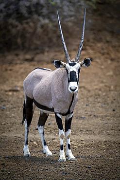 Gemsbok (Oryx gazella) standing on stony ground near bushes; Otavi, Otjozondjupa, Namibia