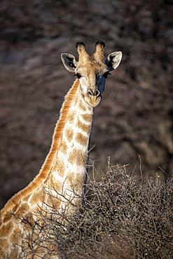 Close-up of southern giraffe (Giraffa camelopardalis angolensis) amongst bushes staring; Otavi, Otjozondjupa, Namibia