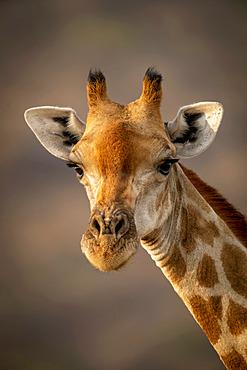 Close-up of southern giraffe (Giraffa camelopardalis angolensis) against blurred background; Otavi, Otjozondjupa, Namibia