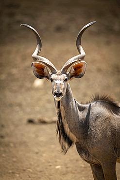 Close-up of male greater kudu (Tragelaphus strepsiceros) eyeing camera; Otavi, Otjozondjupa, Namibia