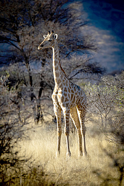 Portrait of southern giraffe (Giraffa camelopardalis angolensis) standing in the golden long grass in a clearing in the woodlands of the savanna at dawn in the Gabus Game Ranch; Otavi, Otjozondjupa, Namibia