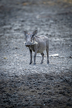 Portrait of a common warthog (Phacochoerus africanus) standing in the mud at a waterhole and looking at the camera at the Gabus Game Ranch; Otavi, Otjozondjupa, Namibia