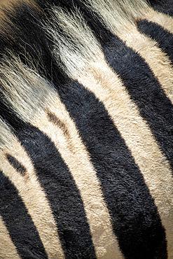 Extreme close-up of the striped fur and mane of a plains zebra (Equus quagga - formerly Equus burchellii) in the Etosha National Park; Otavi, Oshikoto, Namibia