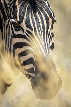 Close-up portrait of a plains zebra (Equus quagga - formerly Equus burchellii) eyeing the camera through the bushes in the Etosha National Park; Otavi, Oshikoto, Namibia