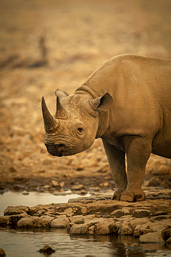 Close-up of black rhinoceros (Diceros bicornis) standing beside a rocky waterhole eyeing the camera in the Etosh National Park; Otavi, Oshikoto, Namibia