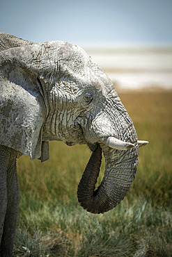 Close-up of an African bush elephant (Loxodonta africana) drinking from grassy waterhole with its trunk curled into its mouth on the savanna in Etosha National Park; Otavi, Oshikoto, Namibia