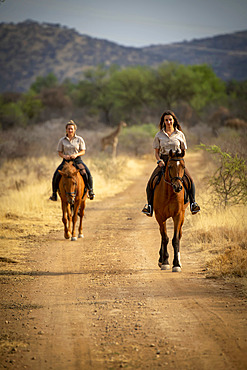 Two women riding horses (Equus ferus caballus) on a dirt road traveling through the bush at the Gabus Game Ranch with a southern giraffe (Giraffa camelopardalis angolensis) in the background; Otavi, Otjozondjupa, Namibia