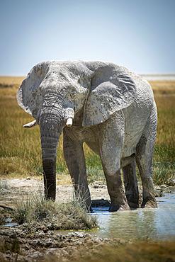 African bush elephant (Loxodonta africana) wading through the mud and drinking from grassy waterhole on the savanna in Etosha National Park looking at camera; Otavi, Oshikoto, Namibia