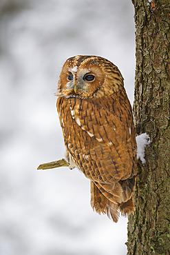 Tawny owl (Strix aluco) in a tree in winter; Europe