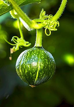 Close up of green round kabocha squash (Cucurbita maxima) hanging from the vine in a garden; Calgary, Alberta, Canada