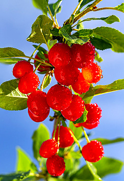 Close up of bright red cherries (Prunus avium) on a tree with blue sky in the background; Calgary, Alberta, Canada