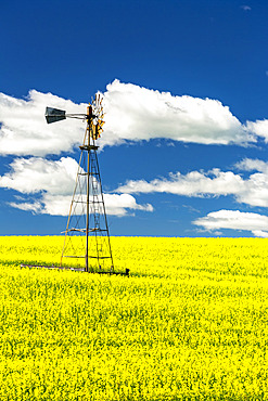 Flowering canola field with an old wind mill tower in the middle, with a blue sky and white, puffy clouds; North of Three Hills, Alberta, Canada