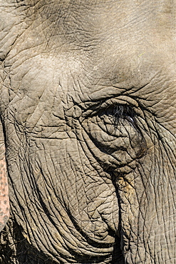 Indian elephant (Elephas maximus indicus) portrait, Kaziranga National Park, Assam, India, Asia